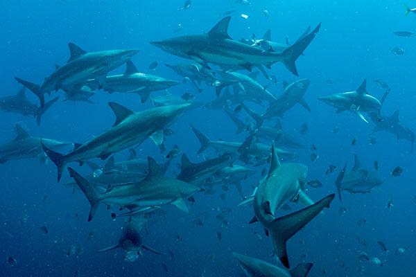 csp-sharks
