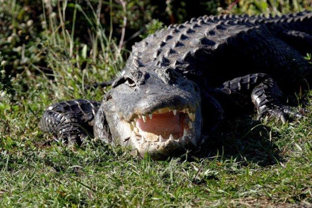 alligator-1402085_1280