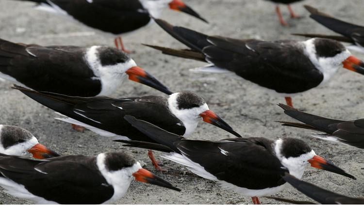 46 juvenile seabirds found dead on Gulf Coast beaches   Key