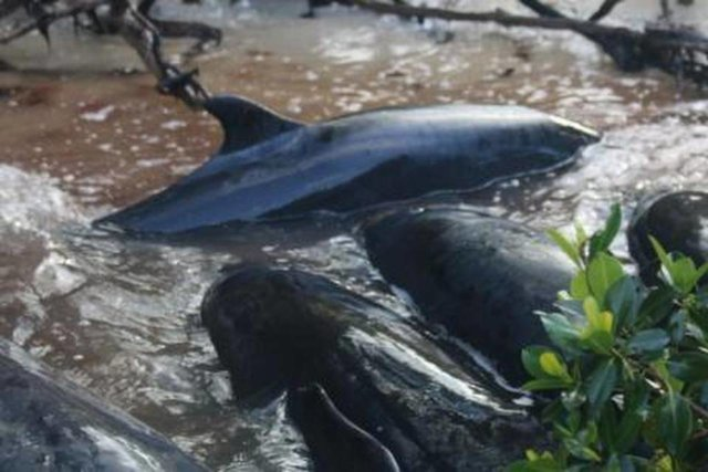 false killer whales pic