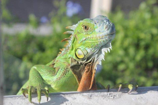 Iguana-window