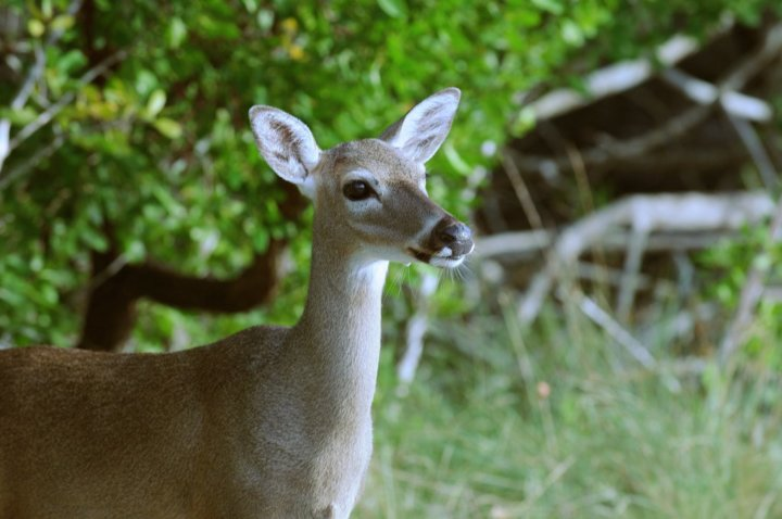 the characteristics of the key deer a deer species of florida keys The endangered key deer is the smallest subspecies of the north american white-tailed deer they are the only large herbivore in the florida keys and can be found in every habitat, where they feed on dozens of native plant species.