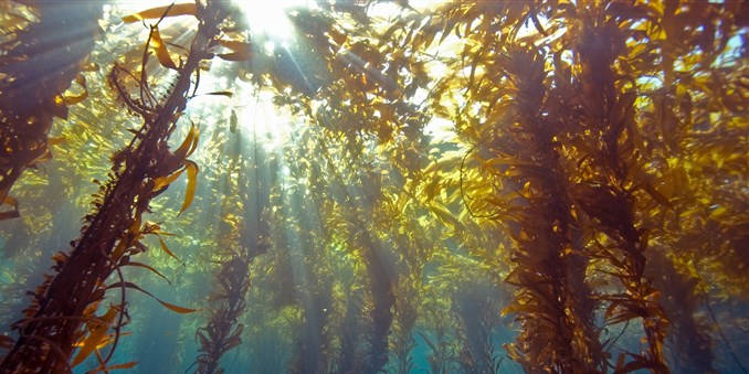171010-seaweed-kelp-mn-1225_44a7f0e7c2488997d695e9558632ee0b.focal-678x339