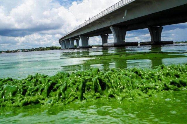 st. lucie algae lucie algae