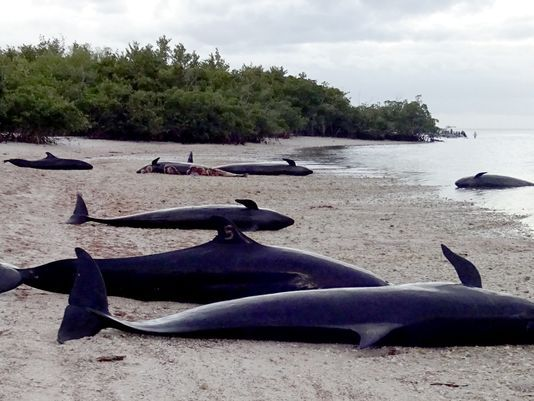 636205189839869661-Beached-Whales-01-14-2017