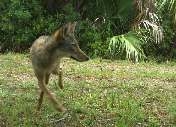 Florida-Coyote---FWC-trail-camera---Big-Cypress