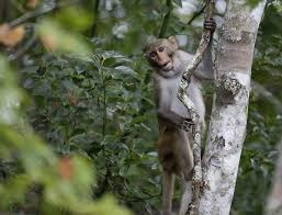 Florida Monkey