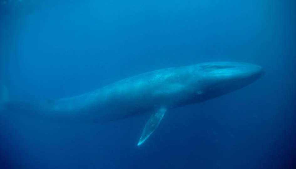 01-blue-whale-NationalGeographic_1203523.adapt.945.1