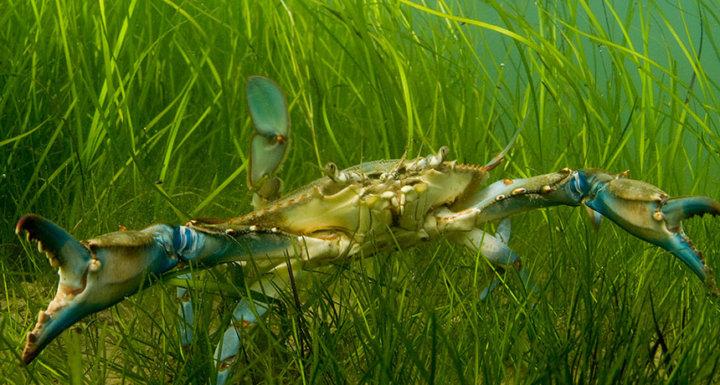 Pollution Regulations Help Chesapeake Bay Seagrass Rebound Key Biscayne Citizen Scientist Project