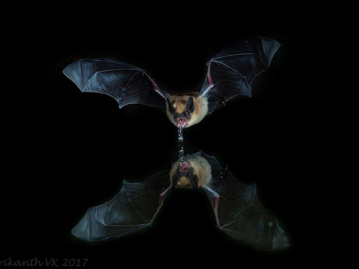 Where Clean Drinking Water Is Hard To Find Bats Could Lead The Way Key Biscayne Citizen Scientist Project